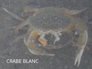 crabe blanc