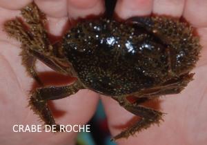 crabe de roche